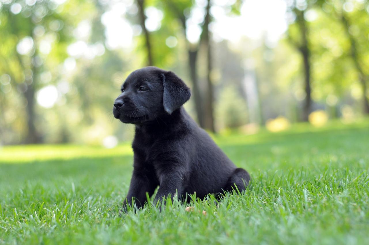 черный лабрадор ретривер