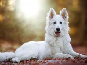 Узнайте больше о белой немецкой овчарке