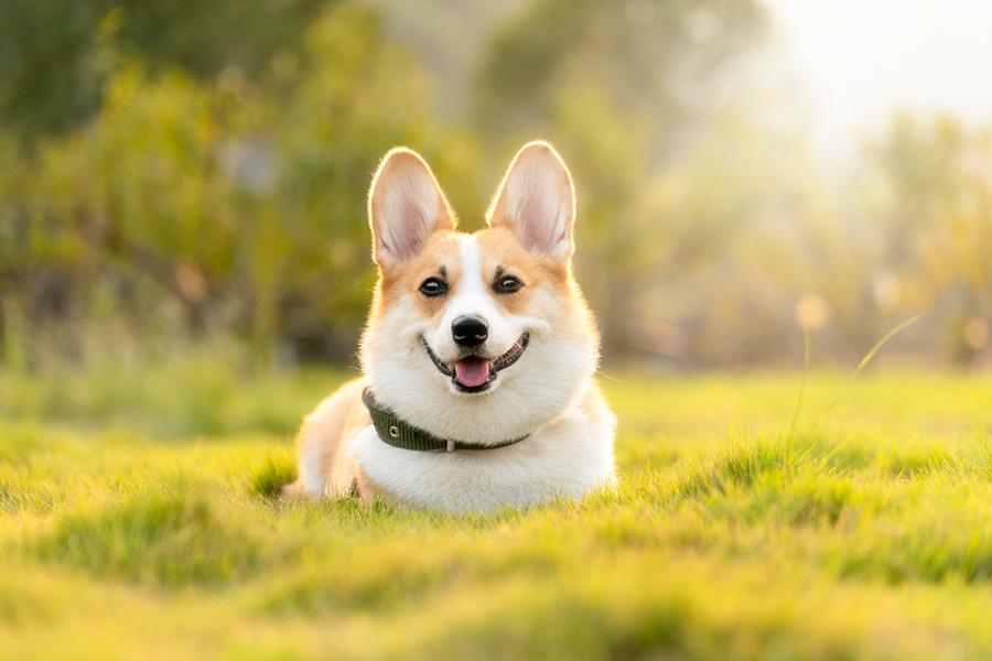 содержание собаки вельш корги пемброк