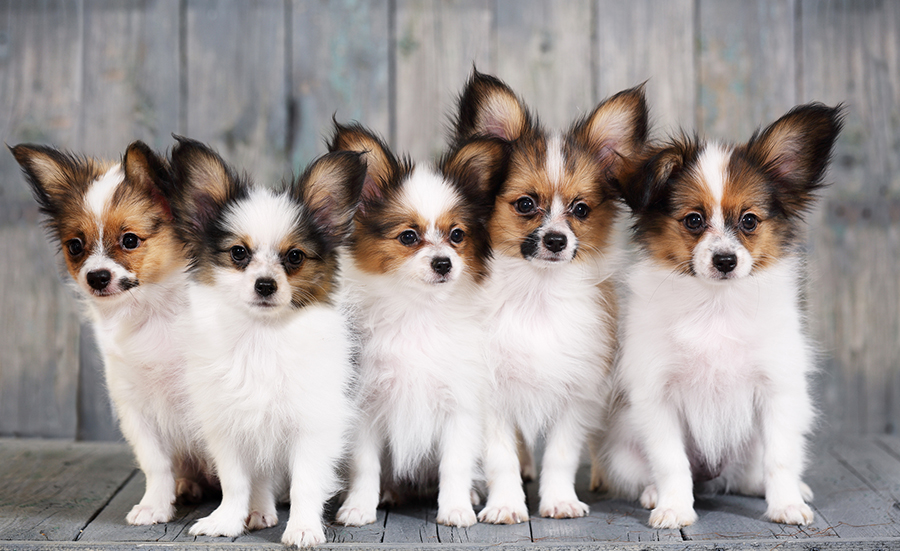 особенности породы собаки папильон