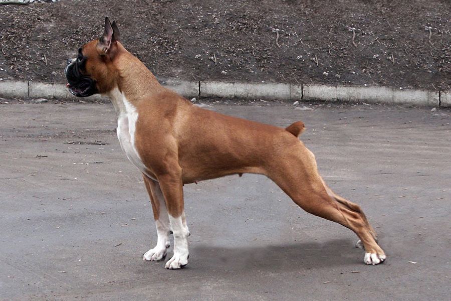 содержание собаки боксер